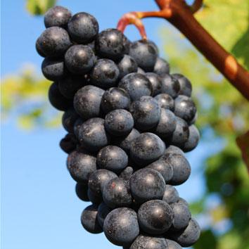 ChiliPrinx-Herstellung-Weintraube-Rotwein-Chili-Likoer-kl
